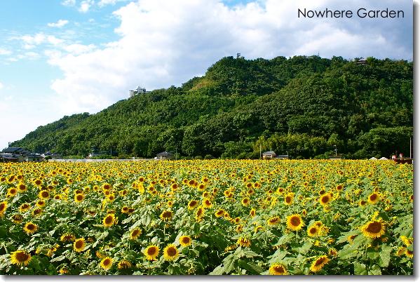 sunflower5.jpg